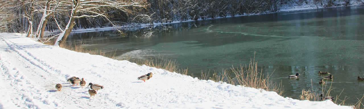 Enten am See im Winter